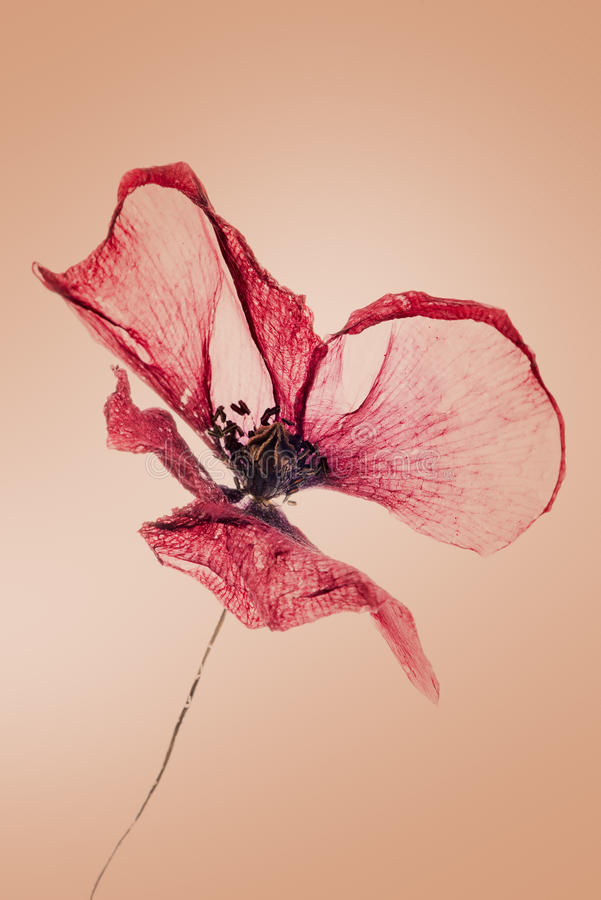 Stary, suchy, czerwony makowy kwiat, obrazy royalty free