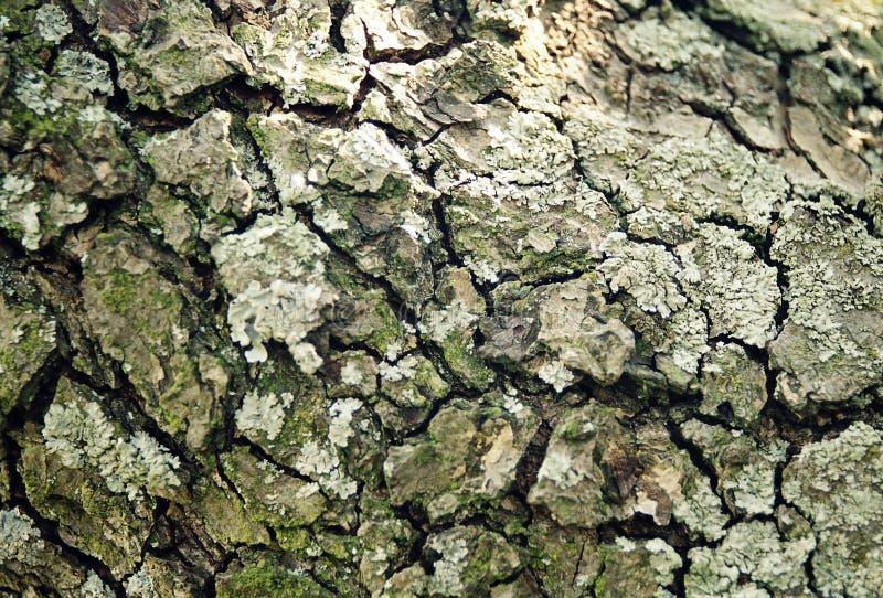 stary szczekać drzewa gruszki fotografia royalty free