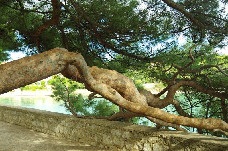 Stary szpotawy drzewo zdjęcia royalty free
