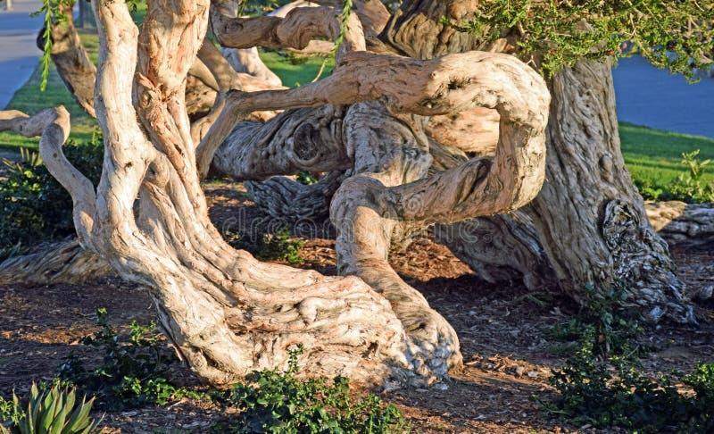 Stary twistedl Melaleuca drzewo w Heisler parku, laguna beach, CA fotografia stock