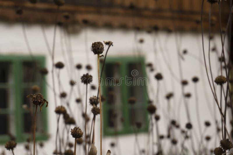 Stary wiejski dom w tle z zielonymi drewnianymi obramiającymi okno i dziką jesienią kwitnie w ostrości obraz stock