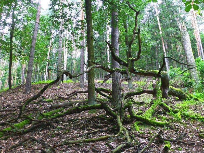Stary wykorzeniający drzewo w lesie obrazy stock