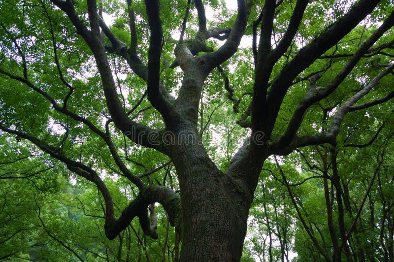 stary wysokie drzewa zdjęcia stock