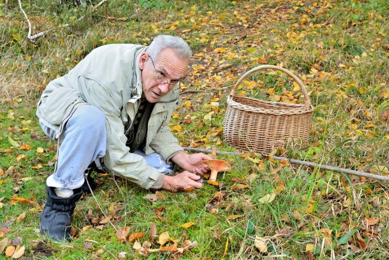 stary zasadniczego mężczyzna zrywania Milkcap Szafranowa pieczarka zdjęcie stock