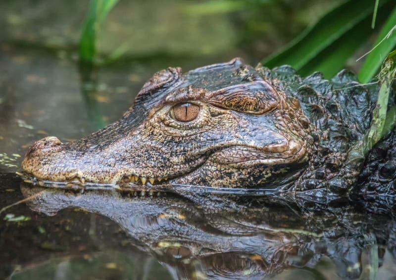 Stary zielonawy aligator kłaść w wodnym basenowym czekaniu dla niektóre jedzenia obrazy royalty free