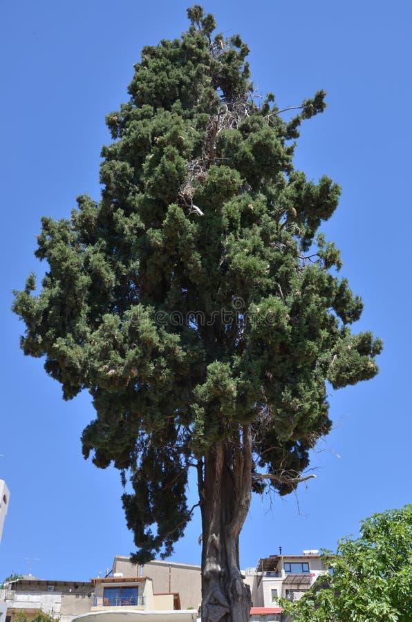 Stary zielony cyprys obraz royalty free