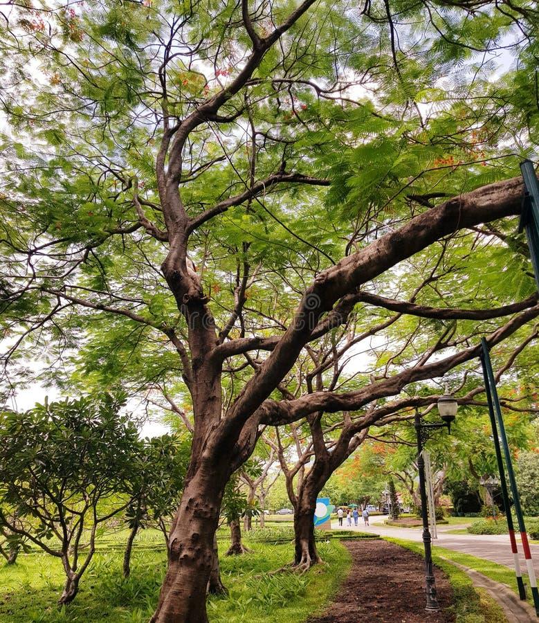 Stary zielony x28 &; Sztuczny lake& x29; i korzenie w Chatuchak parku, Bangkok, Tajlandia obraz royalty free