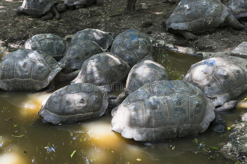 Starzejący się żółwie zdjęcia royalty free