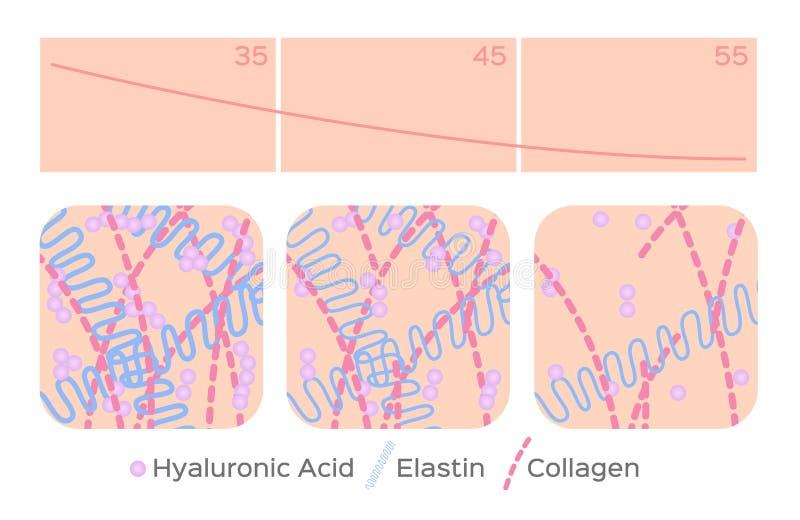 Starzenie się skóry poziom, hyalurowy kwas, elastyna, kolagen/ ilustracji