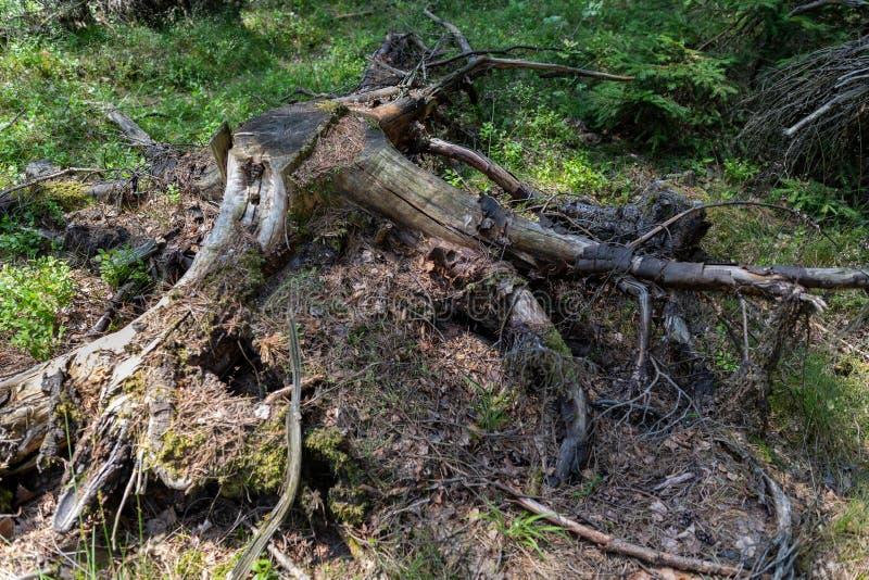 Starzy conifers iglaści drzewa w lasowym Starym przegniłym drewnie w lesie zdjęcia stock