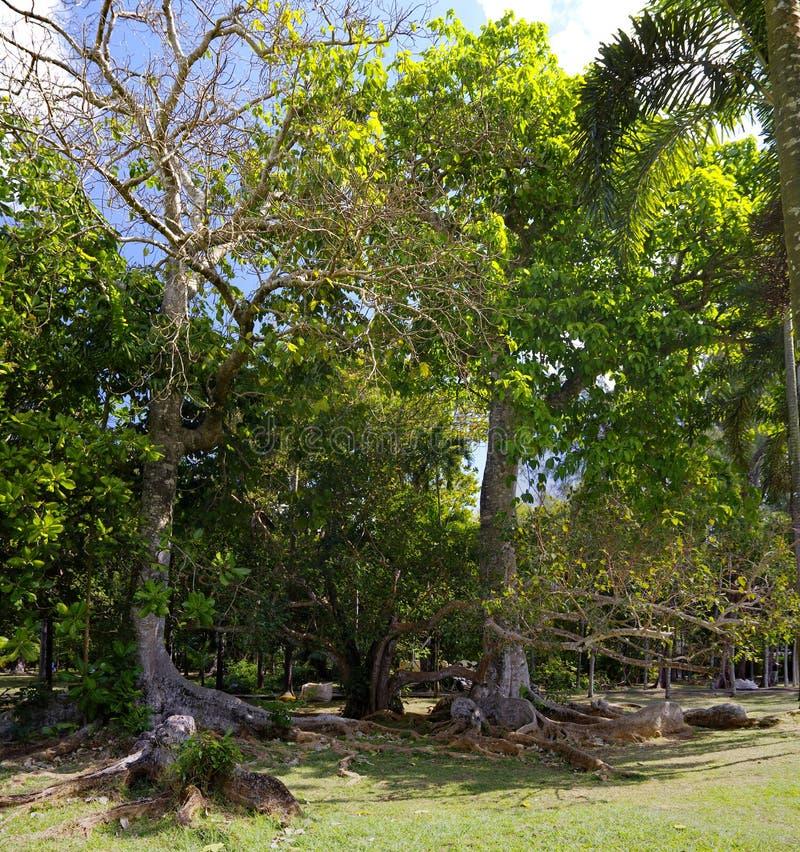 Starzy drzewa w theBotanical ogródzie obraz stock