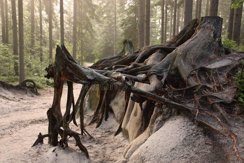 starzy korzenie obrazy stock