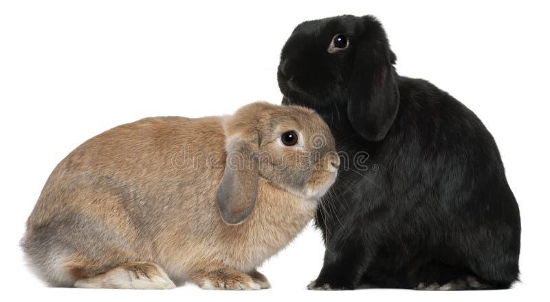Starzy królików 4 i 6 miesiąc, przed biel obraz stock