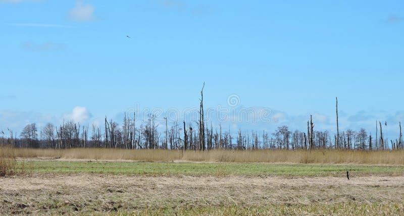 Starzy nieżywi drzewa w bagnie, Lithuania zdjęcie stock