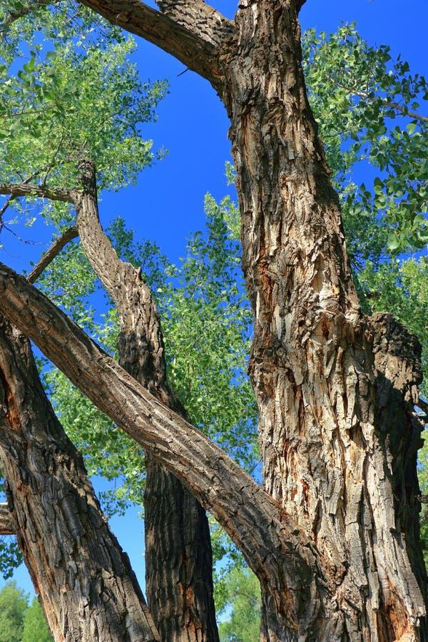 Starzy równiny Cottonwood drzewa, Populus deltoides wzdłuż Czerwonych rogaczy rzeki, dinosaura prowincjonału park, Alberta zdjęcia stock