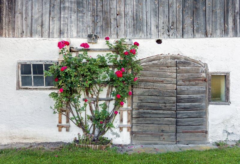 Starzy stajni drzwi i czerwieni róży krzak zdjęcie royalty free