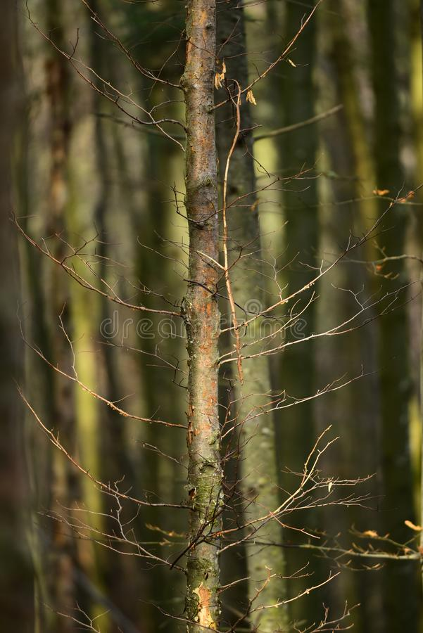 Starzy susi drzewa w jesie? lesie pod ?wiat?em s?onecznym fotografia royalty free