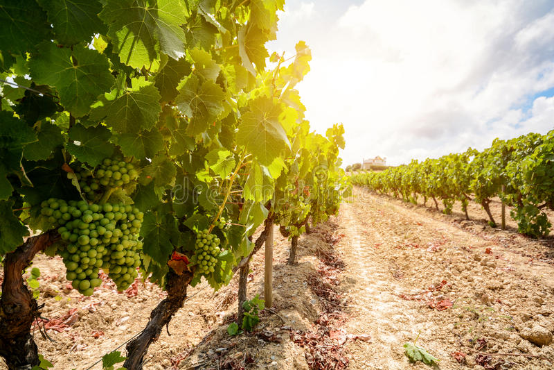 Starzy winnicy z czerwonych win winogronami w Alentejo wina regionie blisko Evora, Portugalia zdjęcia stock
