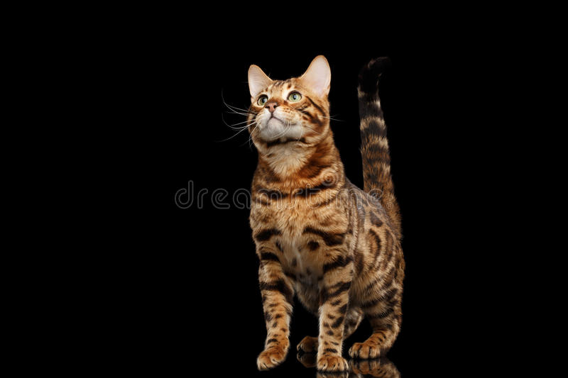 Stately Bengal Male Cat Standing, Looking up, Isolated Black Background stock photography