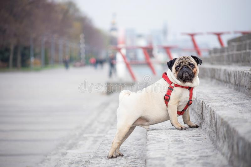 A stately dog pug in a red collar stands on stone steps. Against the background of a spring city park stock images