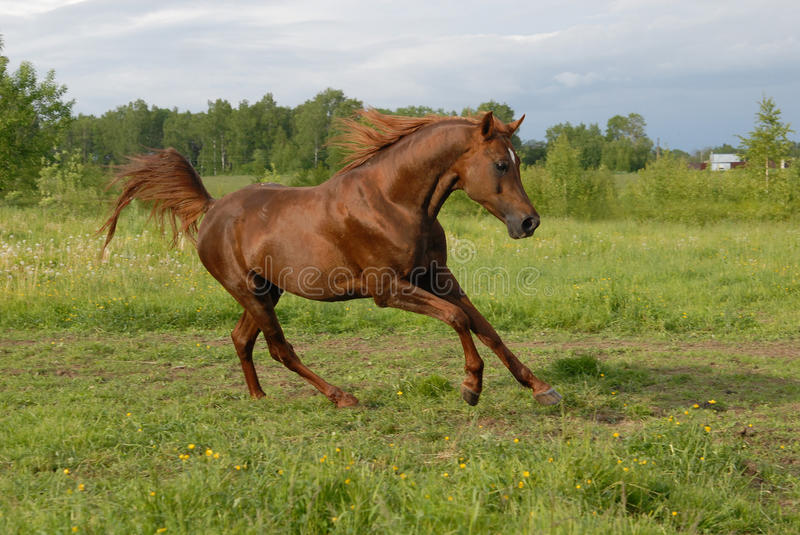 Stately red arabian horse gallop's. On green herbs royalty free stock photo