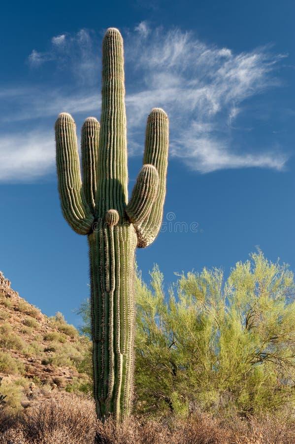 Download Stately Saguaro Royalty Free Stock Image - Image: 33402596