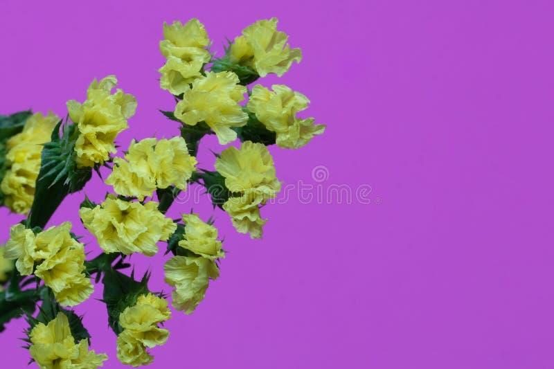 statice amarelo isolado imagens de stock royalty free