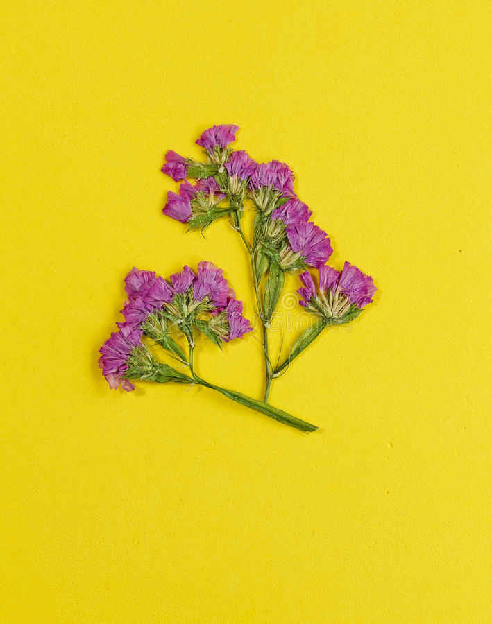 Statice pressionado e secado da flor no fundo amarelo fotografia de stock royalty free