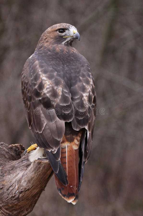 Stationary Red-tailed Hawk Stock Images