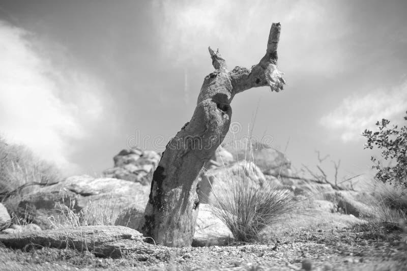 Stationnement national d'arbre de Joshua photographie stock libre de droits