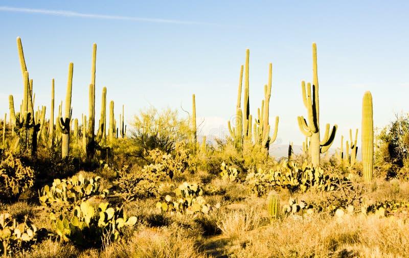 Stationnement national de Saguaro photographie stock
