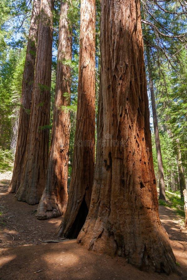 Stationnement national de Yosemite - séquoias de plantation de Mariposa photos libres de droits
