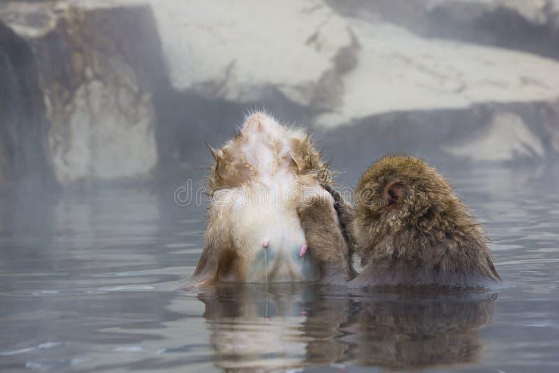Stato della scimmia della neve ultimo di rilassamento in vapore immagini stock