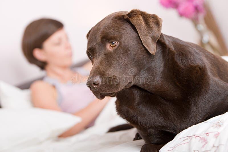 Stattliche Labrador-Warnung im Bett des Inhabers lizenzfreie stockfotos