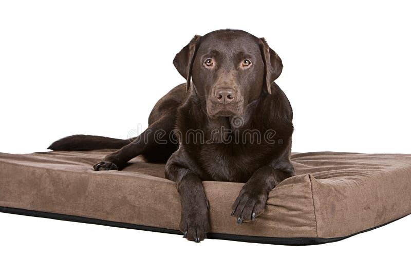 Stattliche Schokolade Labrador auf Bett. Bequem! lizenzfreie stockfotografie