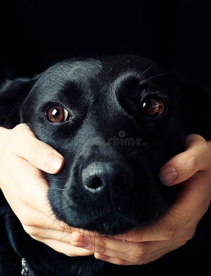 Stattliches Labrador lizenzfreies stockfoto
