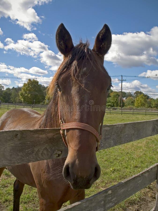 Stattliches Pferd stockbild