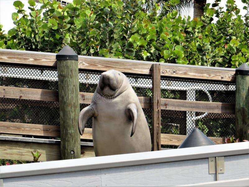 Statua del Manatee, Florida fotografia stock libera da diritti