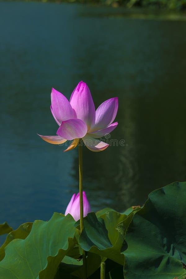 Status in de lotusbloem stock fotografie