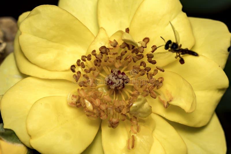 Staubgefäß und Stempel der gelben Blume mit Wassertropfen schließen oben - Makrofoto von Staubgefässen und von Blumenstempeln im  lizenzfreie stockfotografie