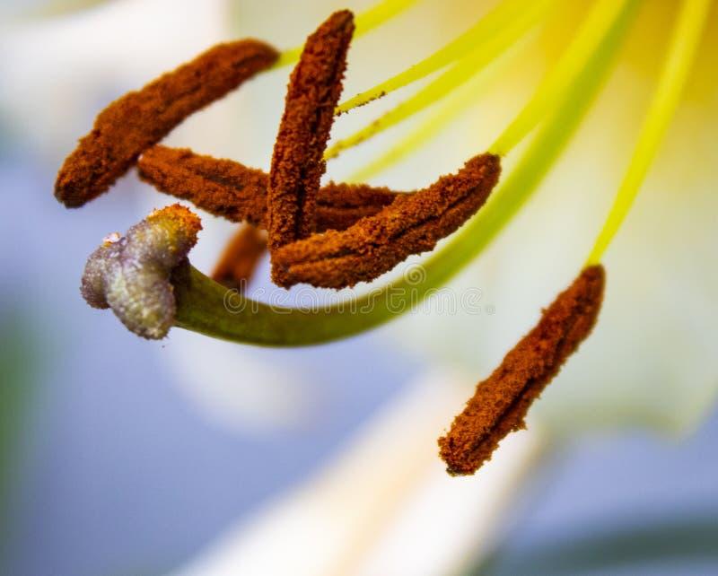 Staubgefässe und Schande auf Lilienblüte stockbild