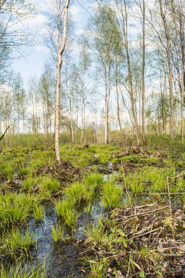 Stauwasser im Wald, auf Bündeln wächst das erste Frühlingsgras unter dem Satz von alten Niederlassungen und von Blättern lizenzfreies stockfoto