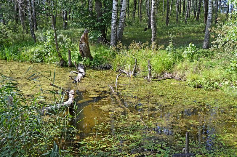 stauwasser Wasser mit Entengrütze stockfotos