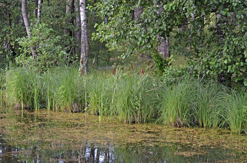 stauwasser Wasser mit Entengrütze lizenzfreies stockbild
