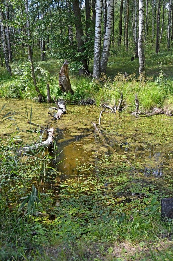 stauwasser Wasser mit Entengrütze stockbilder