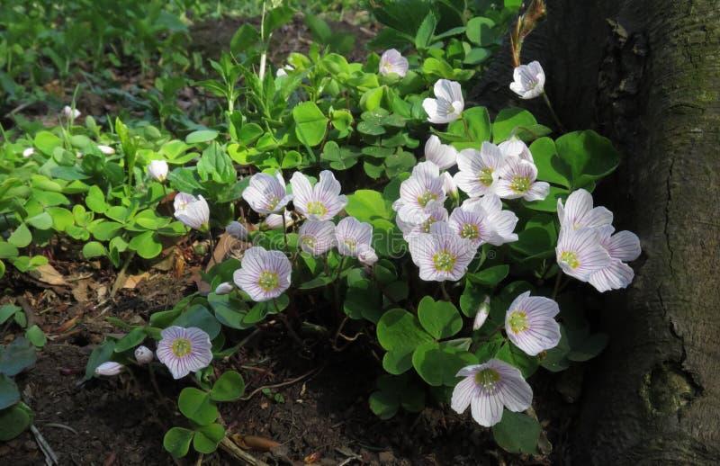 Download Stavel Kysely - ξύλινο Sorrel - στο άνθος Στοκ Εικόνα - εικόνα από λουλούδι, χλωρίδα: 62700355
