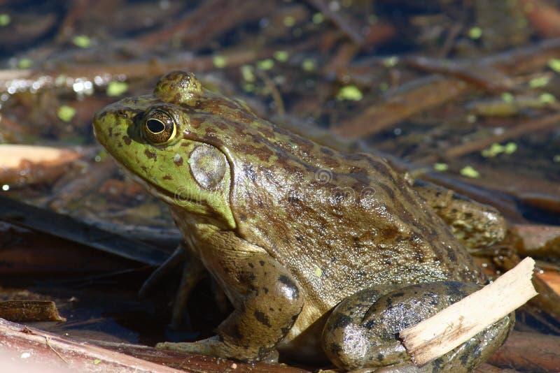 staw bullfrog zdjęcie royalty free