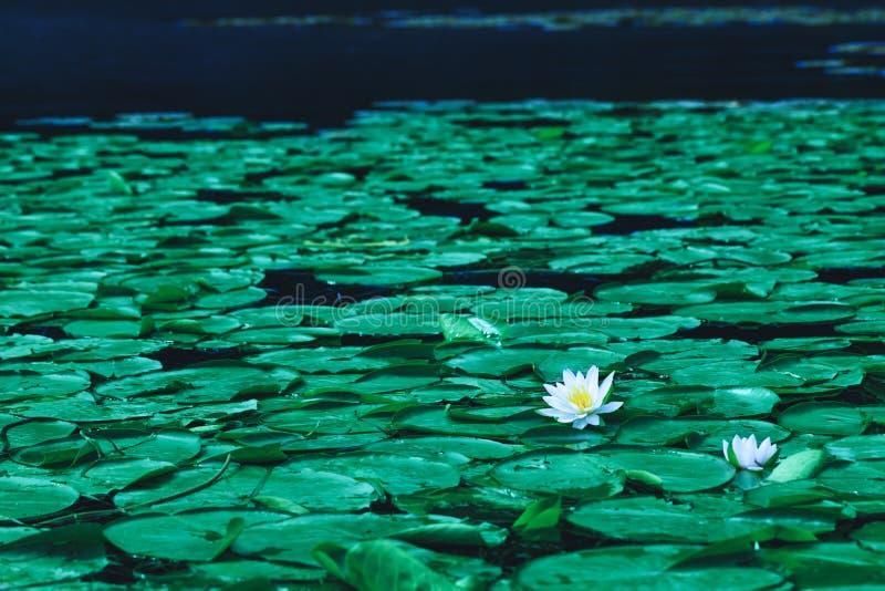 Staw z wodnej lelui kwiatami lub biali lotosy w kwitnieniu przyprawiamy zdjęcia stock