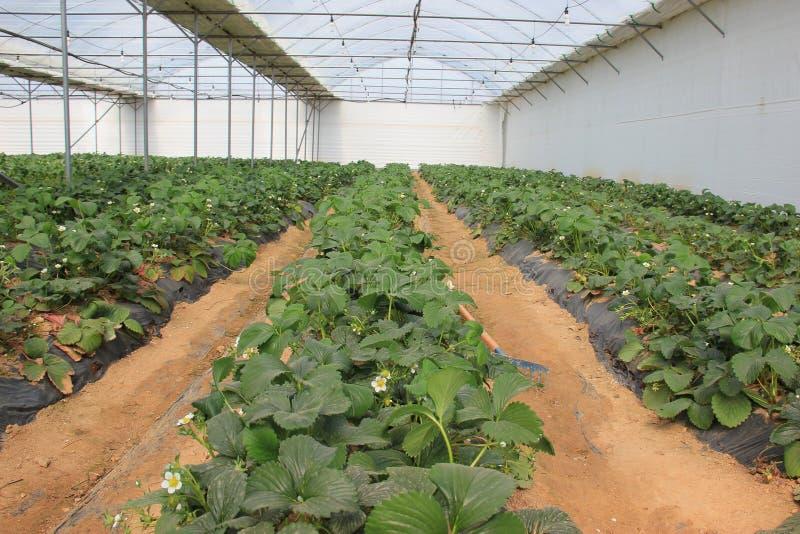 Stawberriesserre stock fotografie