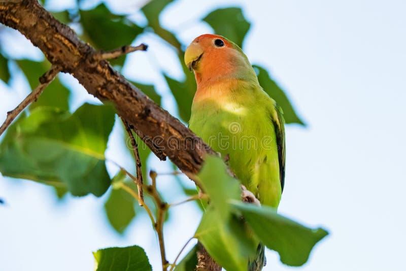 Stawiający czoło Agapornis roseicollis lub lovebird umieszczamy na gałąź zamkniętej w górę zdjęcia royalty free